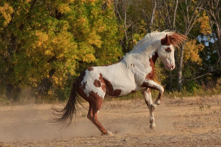 Wild Medicine Hat Stallion....according to Indian legend the Medicine Hat Stallion's rider would be protected from all injury or evil. The markings on his head are his helmet or warrior head dress, the markings on his chest make his shield..