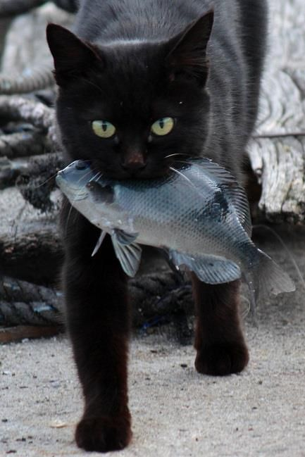 Black cat eating fish images for Fish video for cats