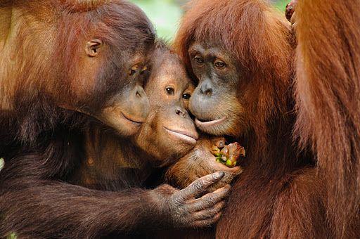 orangutan family