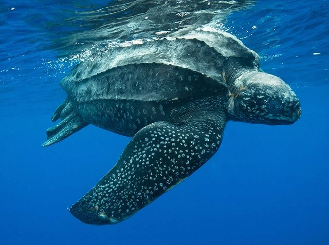 Leatherback sea turtle pictures in the water - photo#35