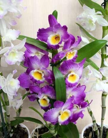 Орхидеи Дендробиум дендрофаленопсис ,Берри ода е Винница - изображение 3