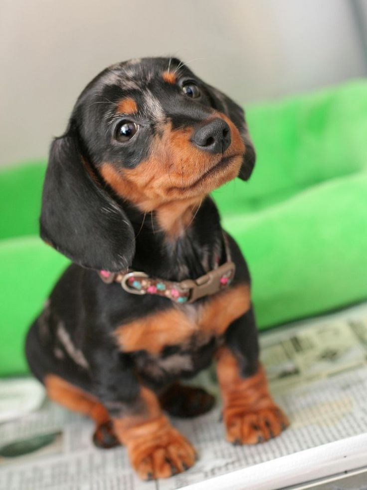 Animals Black And Tan Cute Dachshund Dog Oh God Be My Best