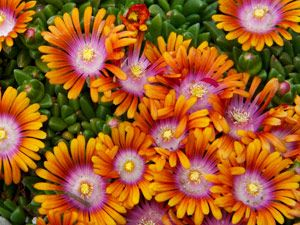 Delosperma Fire Spinner is a drought proof groundcover that thrives with little water and good drainage