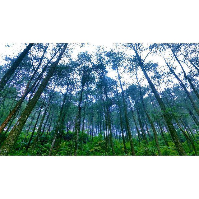 Thanks for the oxygen ~  #pineforest #tree #pine #kopeng #merbabu #salatiga #indonesia