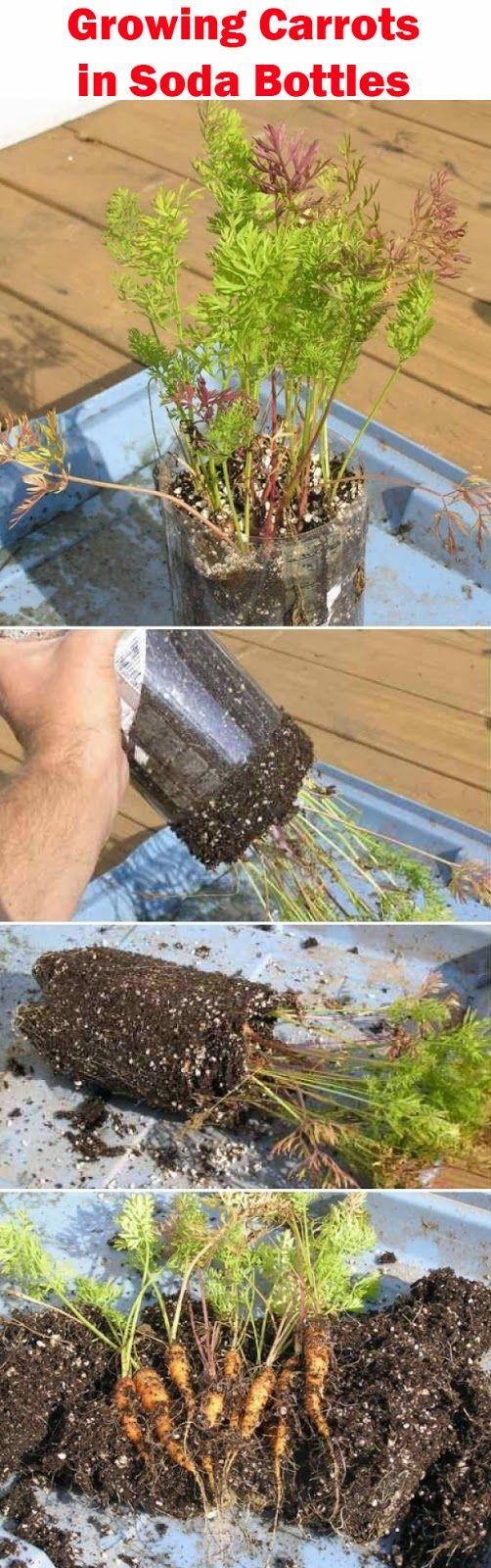 Cultivo de cenouras em garrafas pet