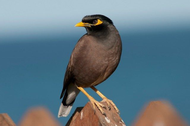 Burung Jalak Nias (nzbirdsonline.org.nz)