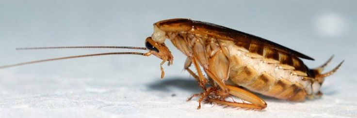 Maak je huis vrij van kakkerlakken dankzij komkommer
