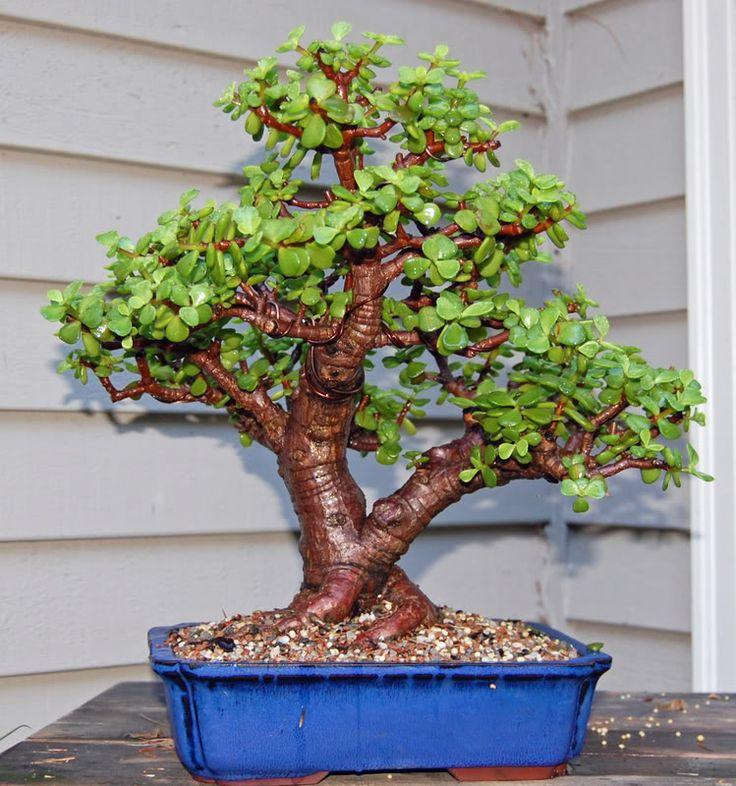 dwarf jade bonsai