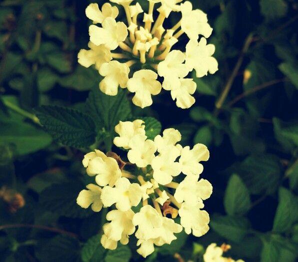 Flowers#rehaish#panchgani