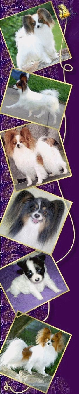 Papillon - Forevr Papillon, Texas & USA AKC Dog Breeder of Merit,Papillons For Sale Puppy, Retired Adult, & Champions. Pet, Performance,Conformation Info, Articles about Pap Health, Grooming, FAQ, breed history