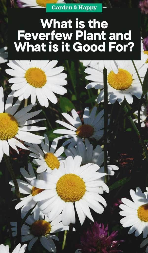 What Is The Feverfew Plant And What Is It Good For Garden And Happy Feverfew Plant Feverfew Plants