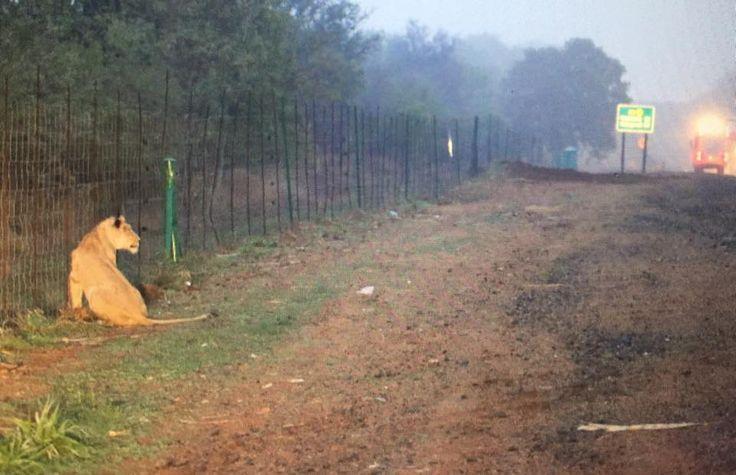 Lioness on Walkabout Safely Returned to Kruger National Park