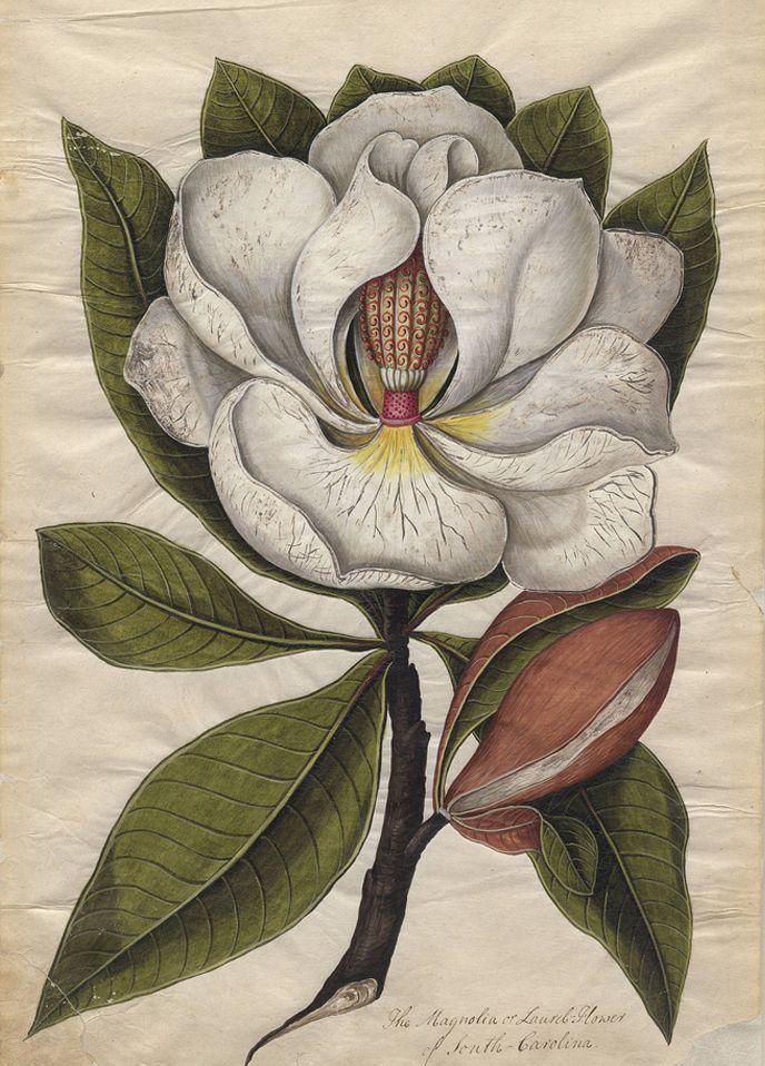 Magnolia, c1765-1775