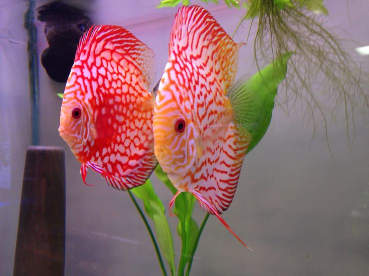 135 best discus images on pinterest discus fish discus for Best place to buy discus fish