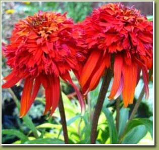 hot papaya coneflower oh my what will these look. Black Bedroom Furniture Sets. Home Design Ideas