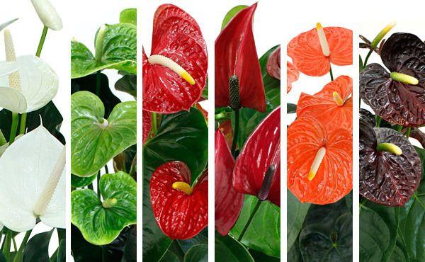 Todas as dicas e informações sobre como plantar antúrios