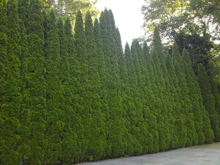 American arborvitae, Northern arborvitae, Northern white cedar