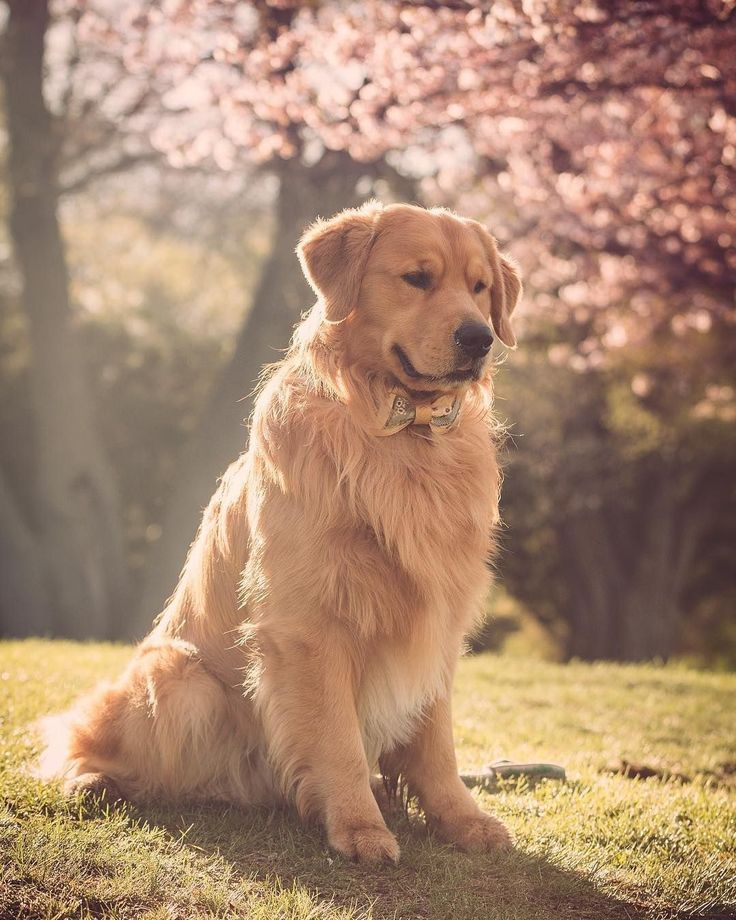 Golden Retriever My World Of Animals Blog 2019 Pet Dog Pictures Dogs Golden Retriever Golden Retriever