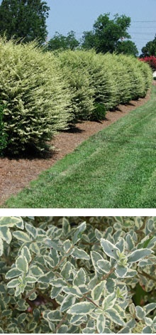 A B C Ddd Cf E Ef E additionally A Fe C Dc Cbe Ede F together with Aboveground Pool Landscaping likewise  also Solid Hedge Border. on solid hedge border