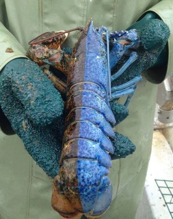 No, you're not just seeing things. This split-colored lobster displays a condition known as gynandromorphy, meaning it is half male, half female. In this case, the blue side is the female side, and the brown side is the male side. This genetic variation occurs in about 1 out of every 50 million lobsters. Gynandromorphs aren't always split neatly down the middle; they can also be calico patterned.  Via: AsapSCIENCE