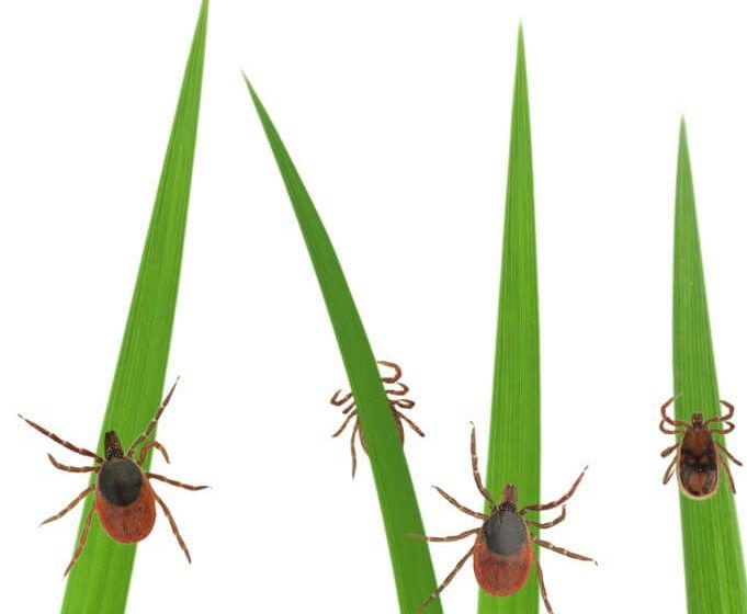 Use cedar oil, garlic oil to repel ticks in your yard. Links to products are here.