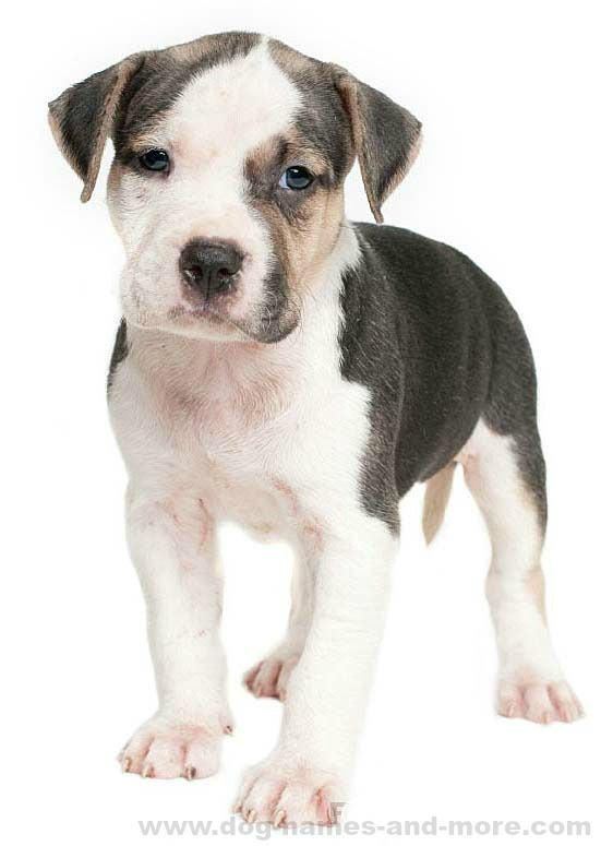 Cute Pit Bull puppy wanting to play