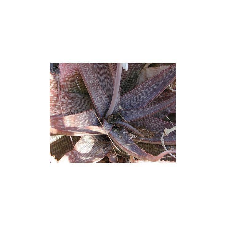 Aloe barbadensis - predaj semien aloe - semená - 6 ks - predaj semien