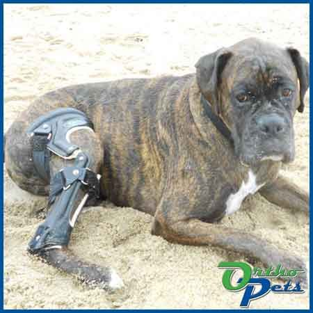 OrthoPets designs knee braces for dogs with ACL tears and other injuries. Each dog brace we fabricate is unique just for your dog.