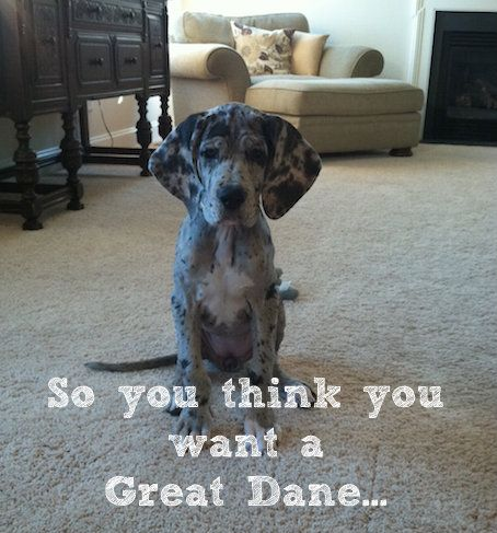 8 Things to Consider Before Owning a Great Dane via The Lunchbox Diaries