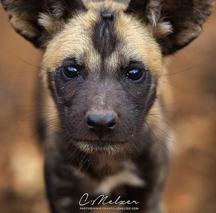 Stunning photo by @chantellemelzer    Use #ODPshutters to share your photography with Outdoorphoto   Be sure to check her account.  #wildlifephotography #wildandfree #wildlife_perfection #wildlifephotographer #naturelovers #natureza #nature_perfection #naturephotography #livingthedream #wilddog #neverstopexploring