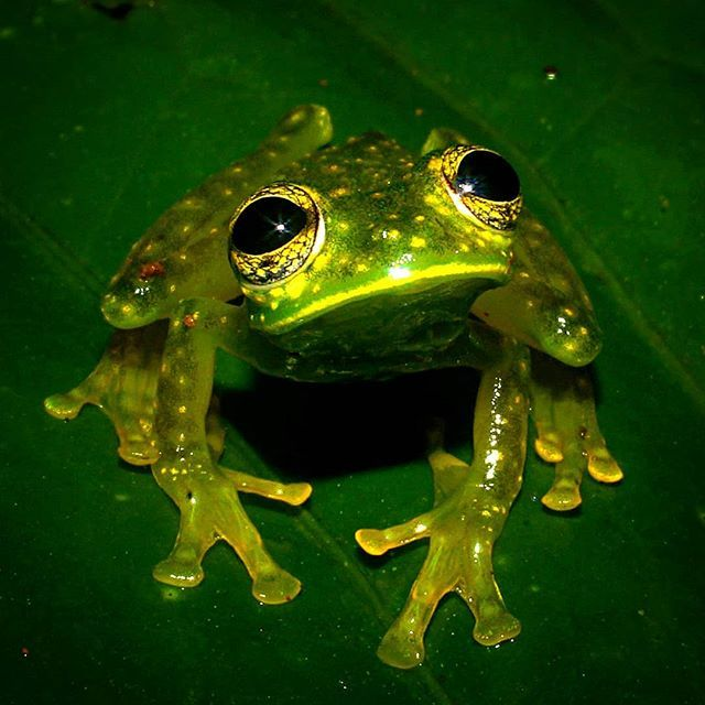 """Seth LaGrange on Instagram: """"Is winter over yet? Take me back to the tropics so I can be warm and find glass frogs.  Yellow-flecked Glass Frog (Sachitamia albomaculata)…"""""""