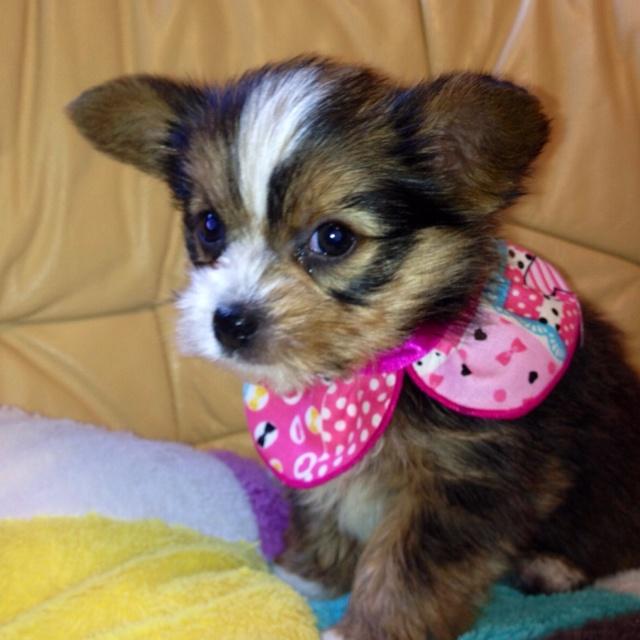 Yuuka's three month old puppy, Ashley. My puppy!