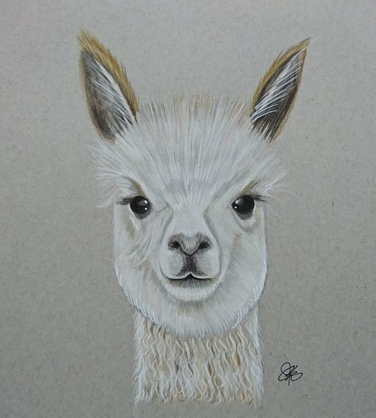 Alpaca drawing by chalittlefairy, coloured pencil on toned ...