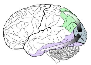 The visual dorsal stream (green) and ventral stream (purple) are shown. The ventral stream is responsible for color perception.
