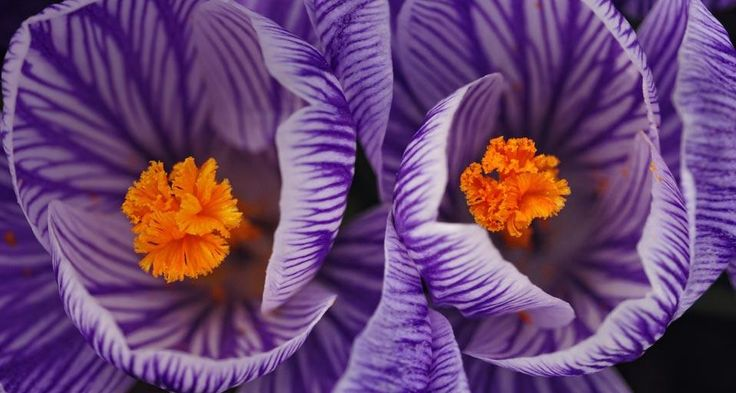 Crocus blossoms in early spring (© Don Johnston/age fotostock)