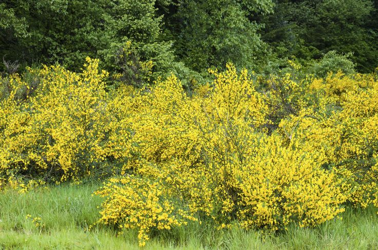 Pruning a scotch broom shrub must be done conservatively and at the correct season. Take a look at this article for more information about scotch broom maintenance and pruning. Click here to learn more.