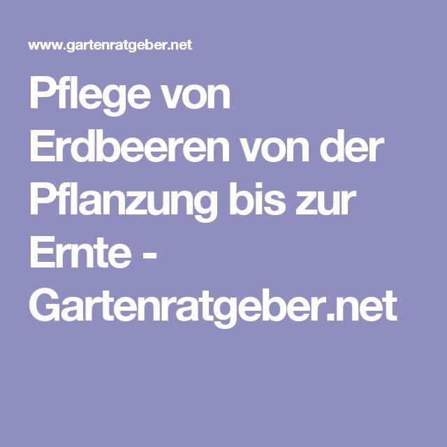 Pflege von Erdbeeren von  der Pflanzung bis zur Ernte - Gartenratgeber.net