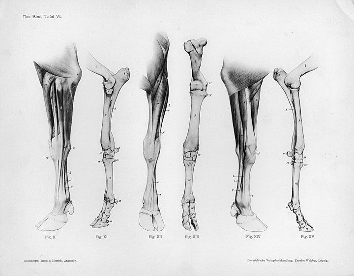 Horse Anatomy By Herman Dittrich Hind Legs: 49 Best COWS Images On Pinterest