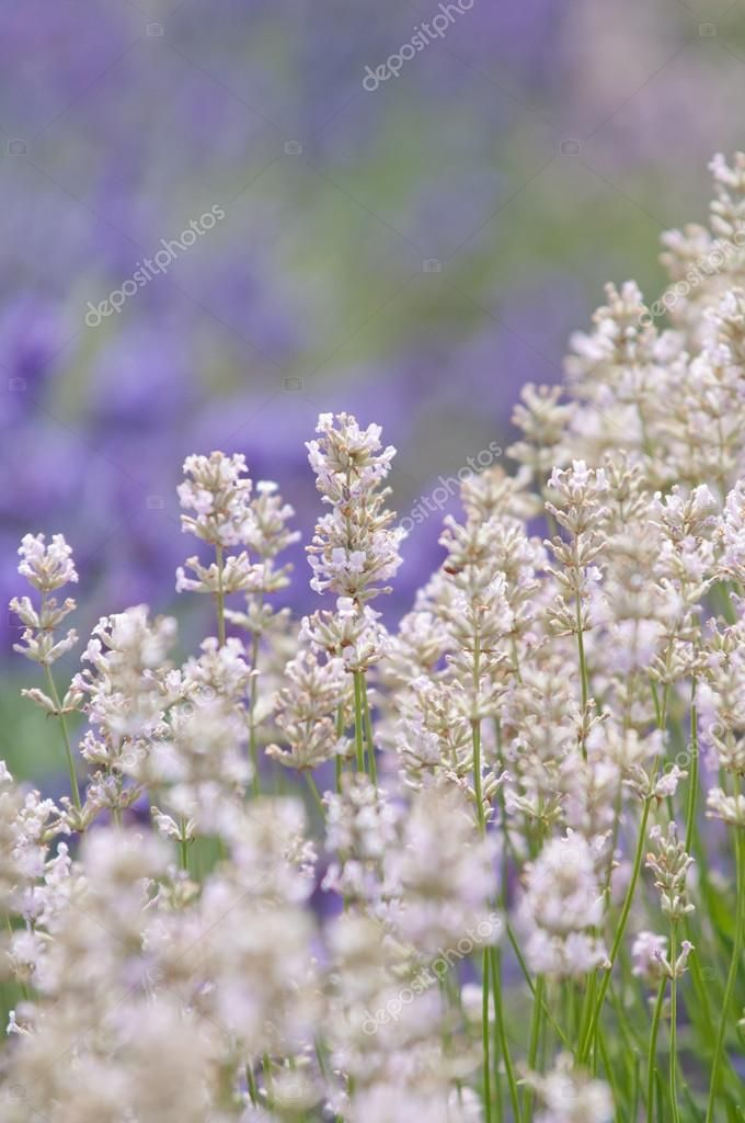 Lavender Flower Natural Look Of Lavender Flowers Lavandula Stock Photo Aff Natural Flower Lavender Flowers Lavender Flowers Natural Looks Flowers