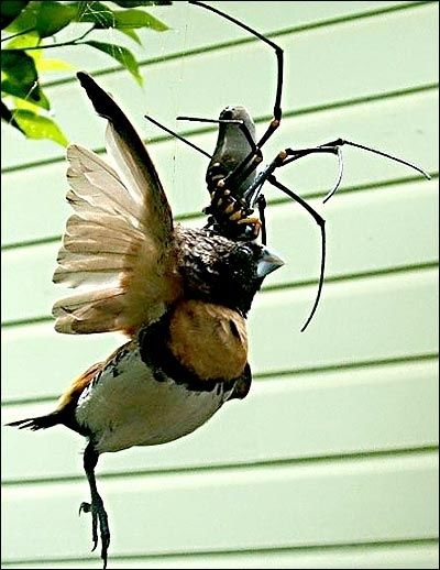 Golden orb weavers have toxic webs | Anguished Repose, nightmares for life, thank you.