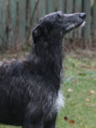 "The Scottish Deerhound's antecedents have existed back to a time before recorded history. They would have been kept by the Scots and Picts and used to help in providing part of their diet--mainly hoofed game. They were bred to hunt red deer by ""coursing"" and ""stalking."""