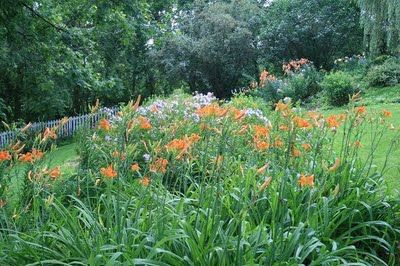 Day lilies growing on septic mound