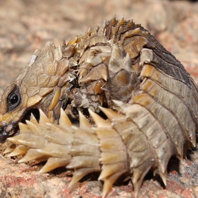 18 Best Images About Armadillo-Girdled-Lizard On Pinterest