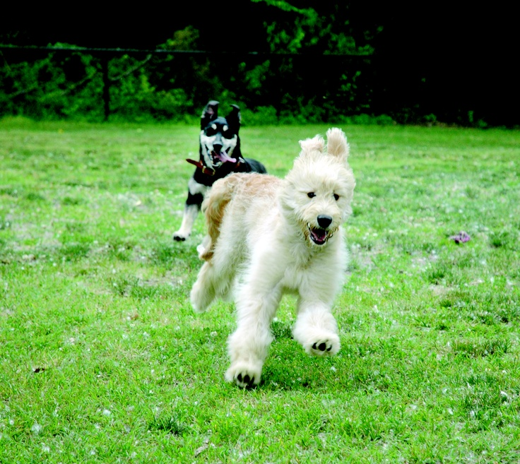 The South Jersey Sun - A day in the dog park #labradoodle #dogs #cute: Labradoodle Dogs, Dog Park, Dogs Fans, Dogs Parks