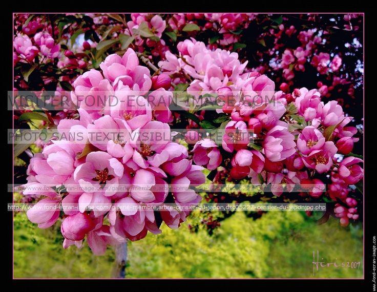 Arbre cerisier du japon