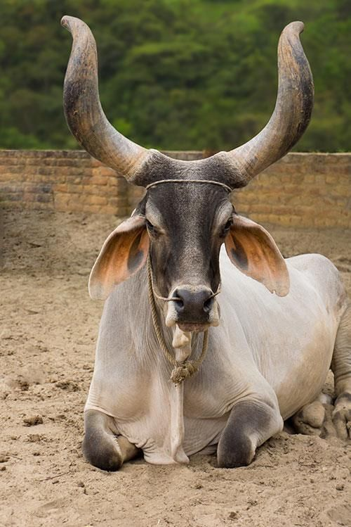 Kankrej Indian cattle (oxen)