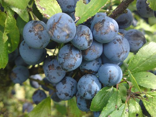 Sloe Berries are in season- time for some sloe gin and sloe vodka!!!