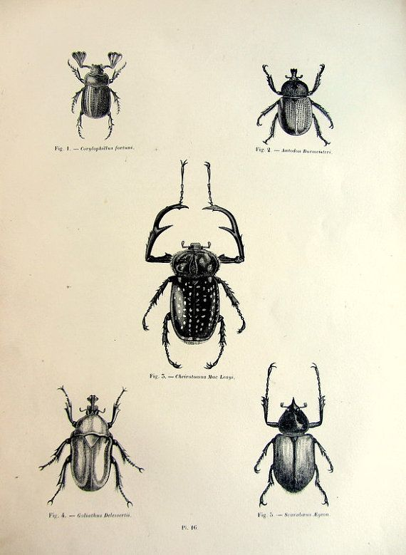 Nice antique beetles print original 1860 by LyraNebulaPrints, $25.00