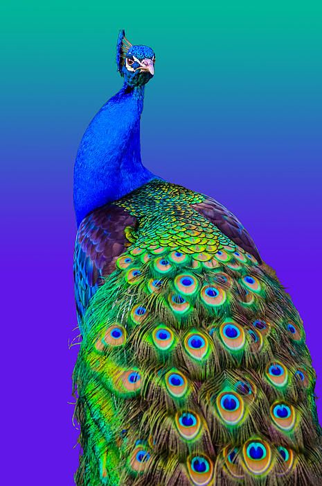 Peacock - Photography by Brian Stevens