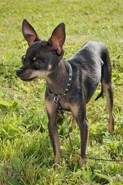 Top 10 Smallest Dog Breeds In The World